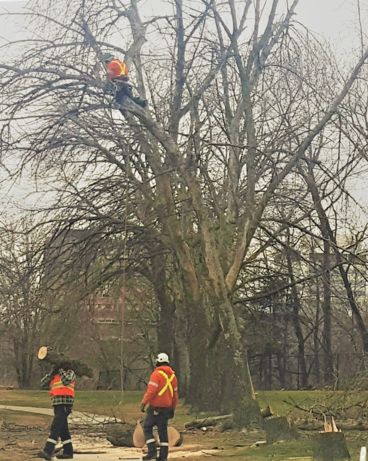tree care service the real tree masters inc serving all of the gta