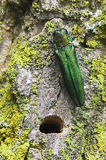 emerald-ash-borer-Identification